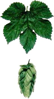Hops in the brewing of beer