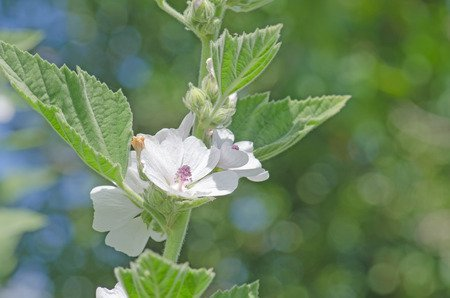 Altea (Althaea officinalis): Proprietà e benefici