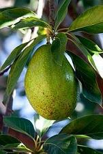 Avocado: Properties and Benefits