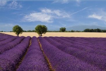 Lavanda: proprietà e benefici