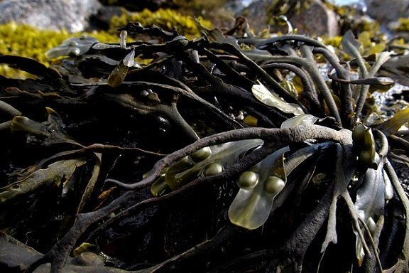 Alghe kelp: Proprietà e Benefici