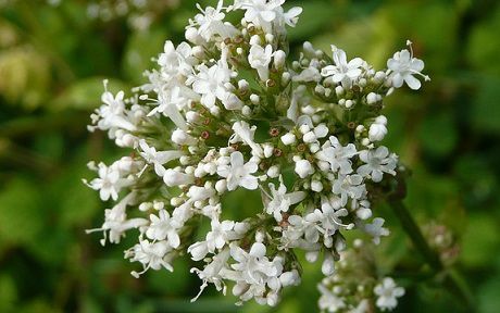 Valeriana: Proprietà e Benefici