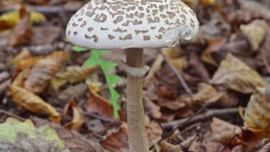 Photo of Macrolepiota excoriata – Bubbola di Prato