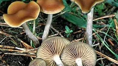 Photo of Psilocybe cyanescens
