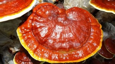 Photo of Ganoderma Lucido – Ganoderma Lucidum
